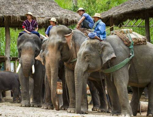 Top 7 Chiang Mai Elephant Camps You Can't Miss